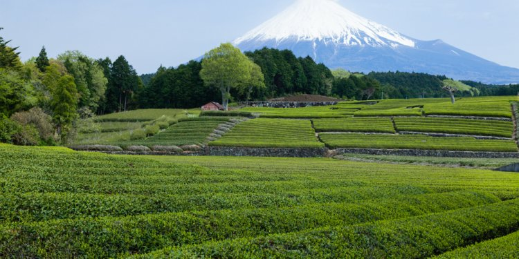 Premium Japanese green tea ready for the picking!